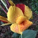Canna lily, the gardens at Hampton Park, Charleston