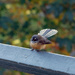 Fantail on the bridge