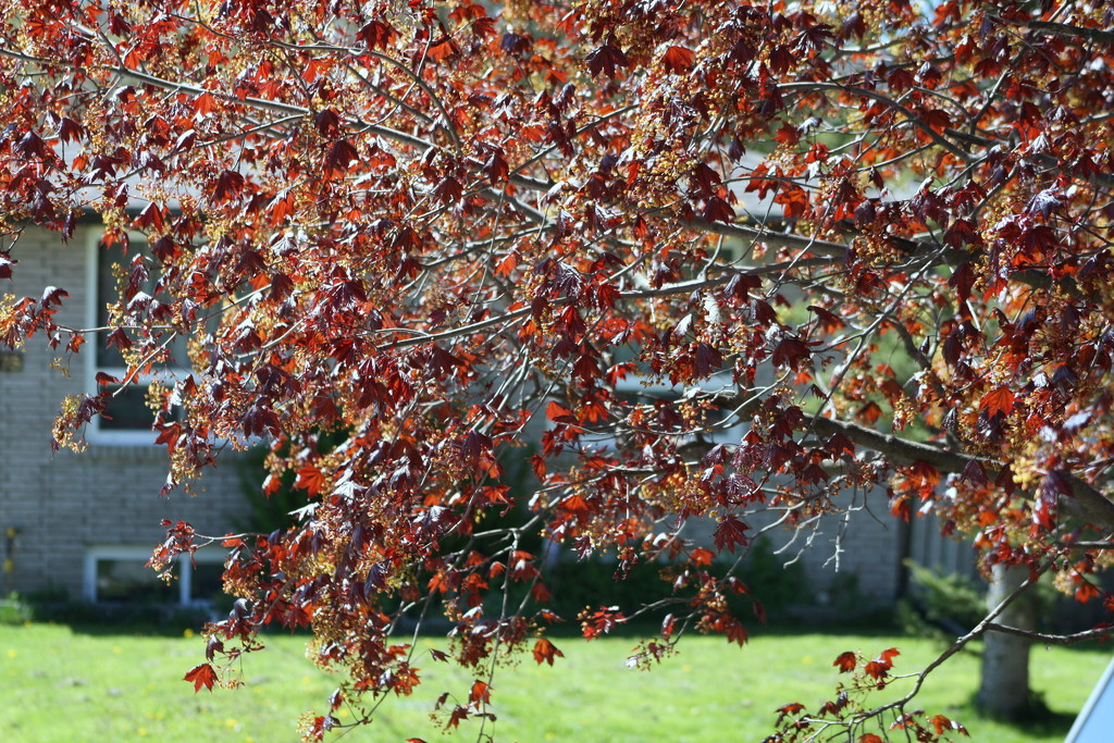 Our crimson maple is sprouting leaves   by bruni