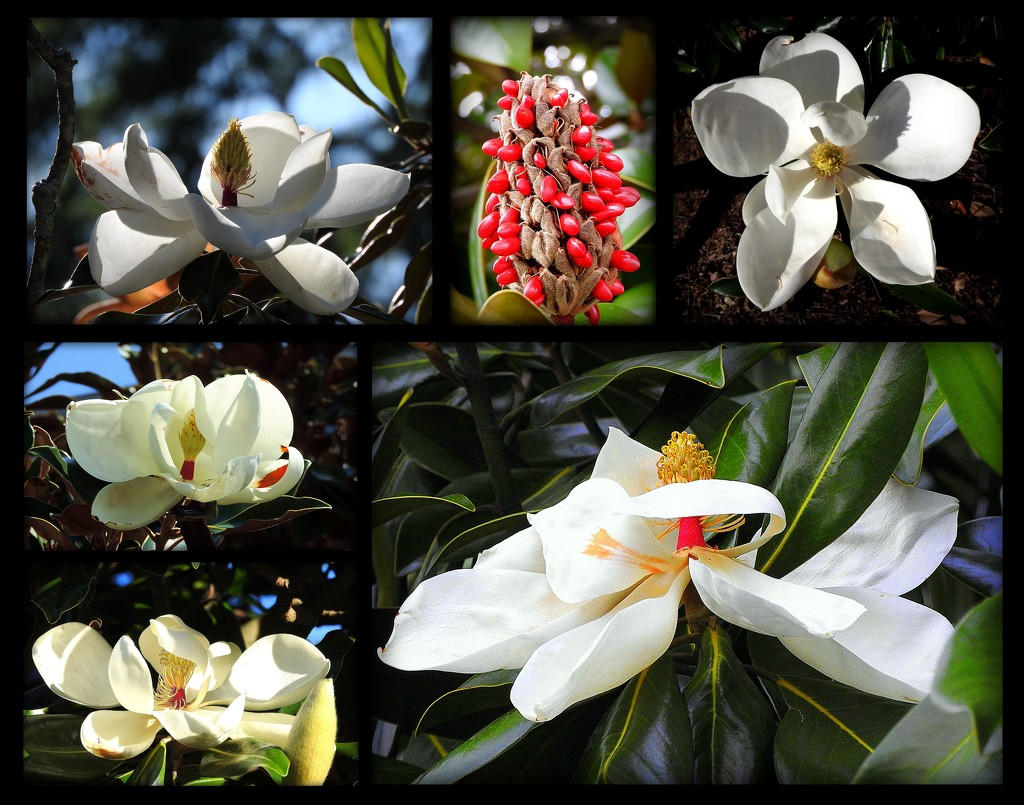 My Favorite Magnolias by homeschoolmom