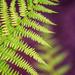 fern by jernst1779