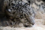 12th May 2019 - Sleeping Snow Leopard