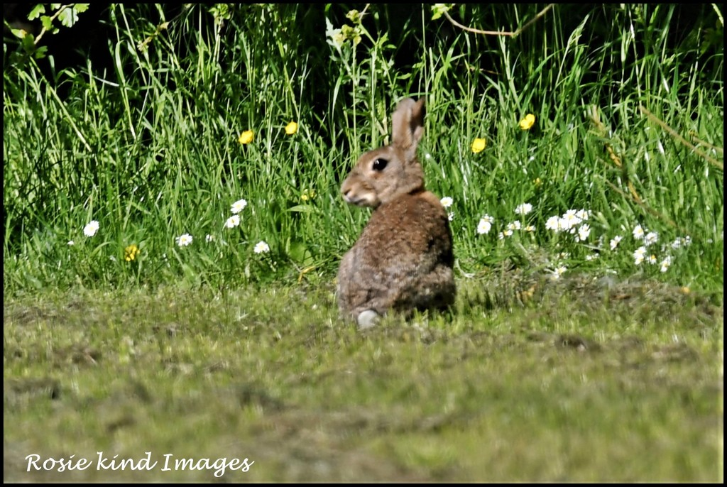 Bunny at the Forrest of Marston Vale by rosiekind