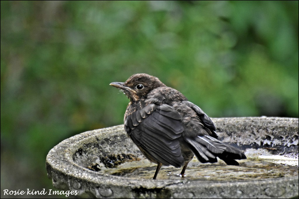 Young blackbird by rosiekind