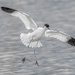 Avocet landing by inthecloud5