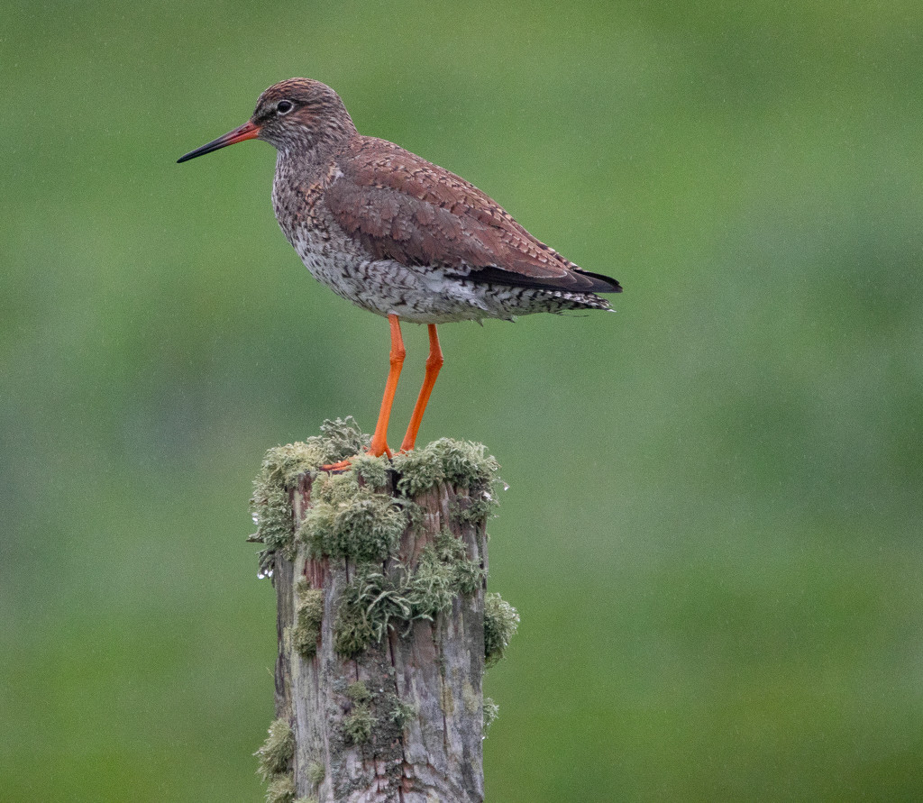 Redshank by lifeat60degrees