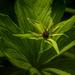 A herb-paris by haskar