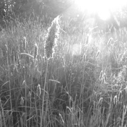 22nd May 2019 - Meadow foxtail grasses