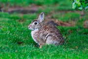 22nd May 2019 - A bunny in my backyard.