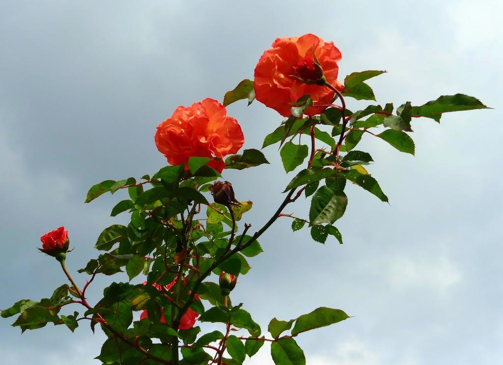 roses by gijsje