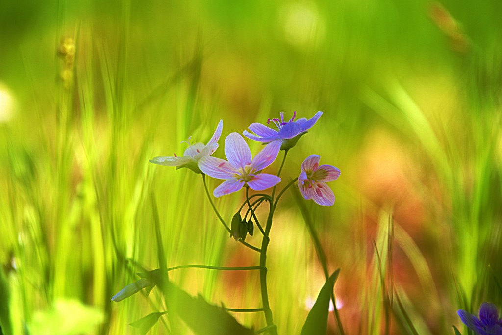 Spring Beauties by lynnz