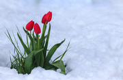 21st May 2019 - tulips in the snow