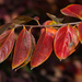 Persimmon Leaves_DSC1364
