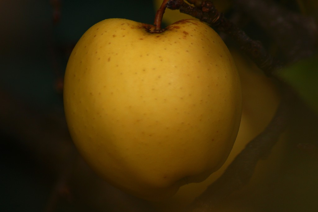 golden delicious by wenbow