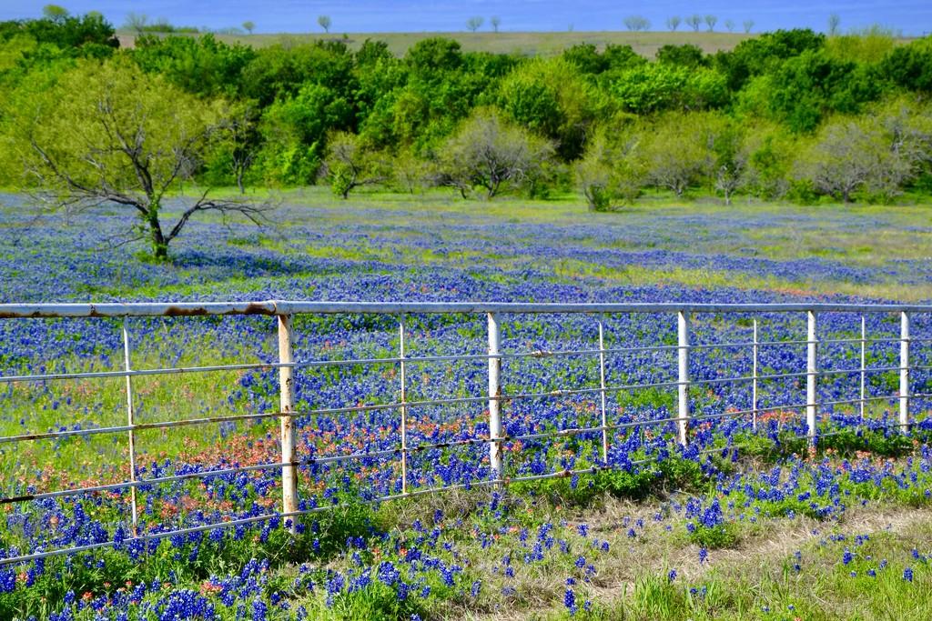 A field of Bluebonnets  by louannwarren