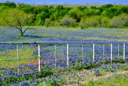 23rd May 2019 - A field of Bluebonnets