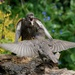 ROCK - PAPER - SCISSORS  BABY STARLING STYLE