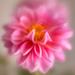 velvety dahlia by jernst1779