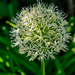 Allium White
