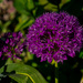 Allium Purple.