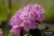 23rd May 2019 - Rhododendron and a spider