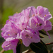 Rhododendron and a spider