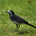Cute little wagtail