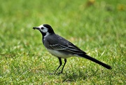 23rd May 2019 - Cute little wagtail