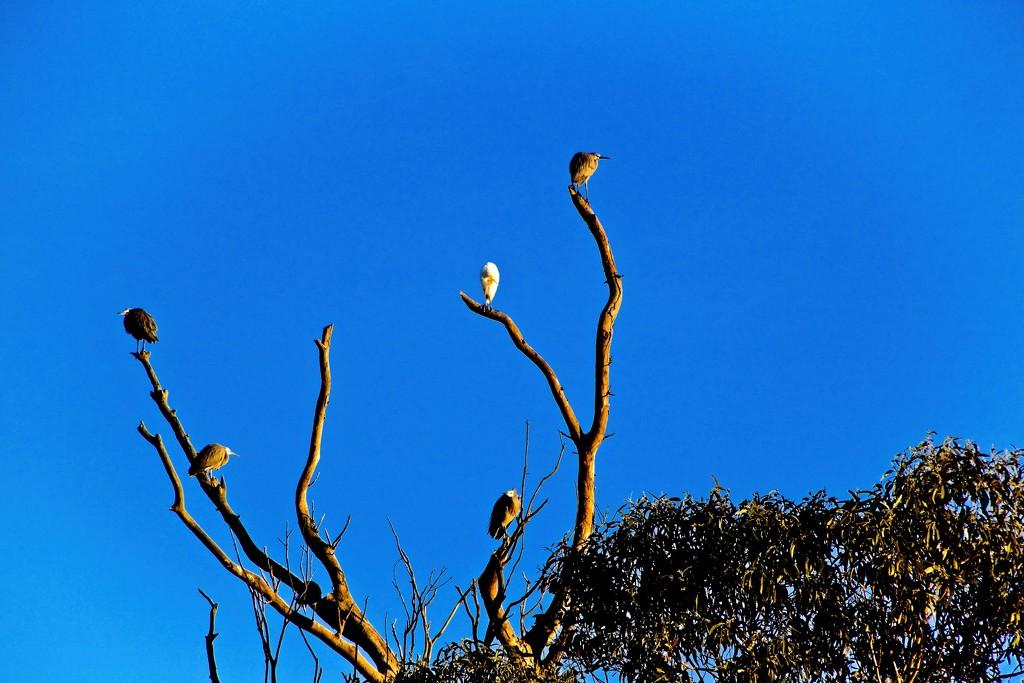 Herons catching the early morning sun by kiwinanna