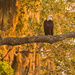 Bald Eagle in the Setting Sun!