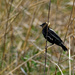bobolink behind the veil