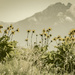 Arrowleaf Balsam Root against the Mission Mountains by 365karly1