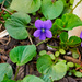 Violets and an Accidental Snail
