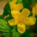 Kerria japonica by elisasaeter