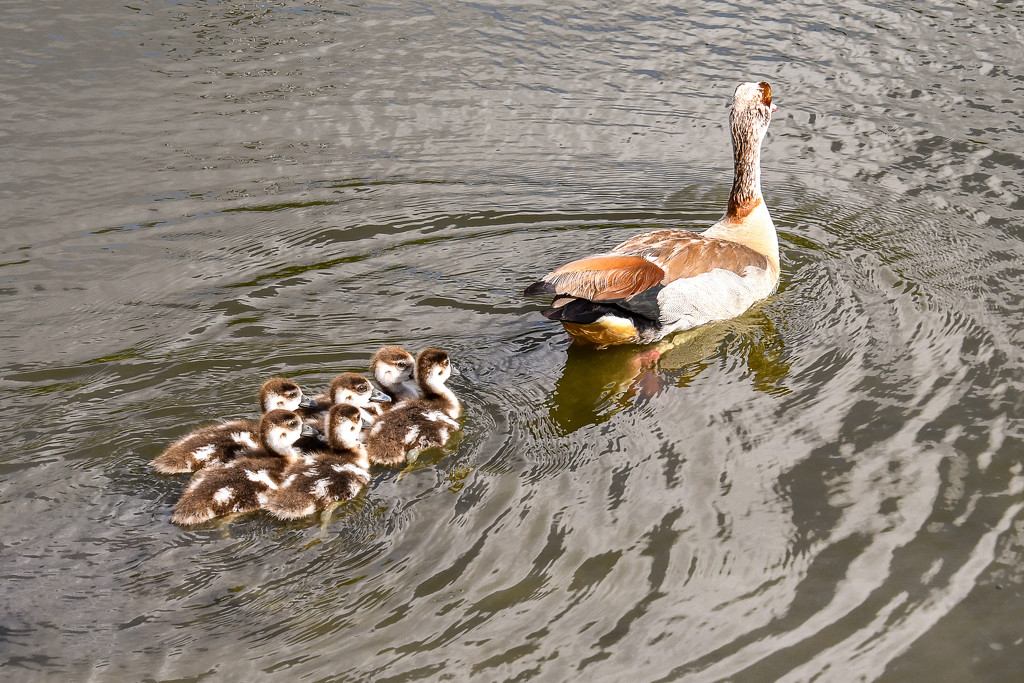 Baby geese by danette