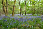 24th May 2019 - More bluebells