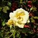 The Yellow Rose of ' Beauty ' ~