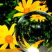 Japanese Daisies in a ball