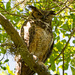 I Think I May Have Gotten a Wink From Mom Great Horned Owl!