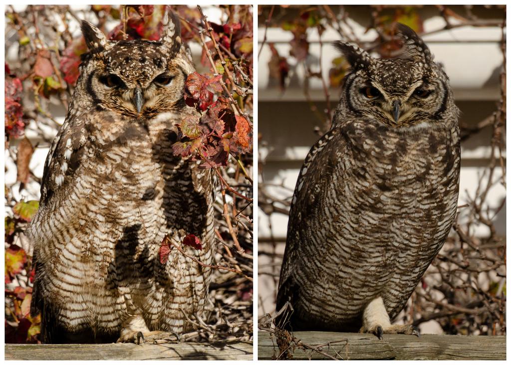 Owl Pair by salza