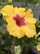 25th May 2019 - Hibiscus