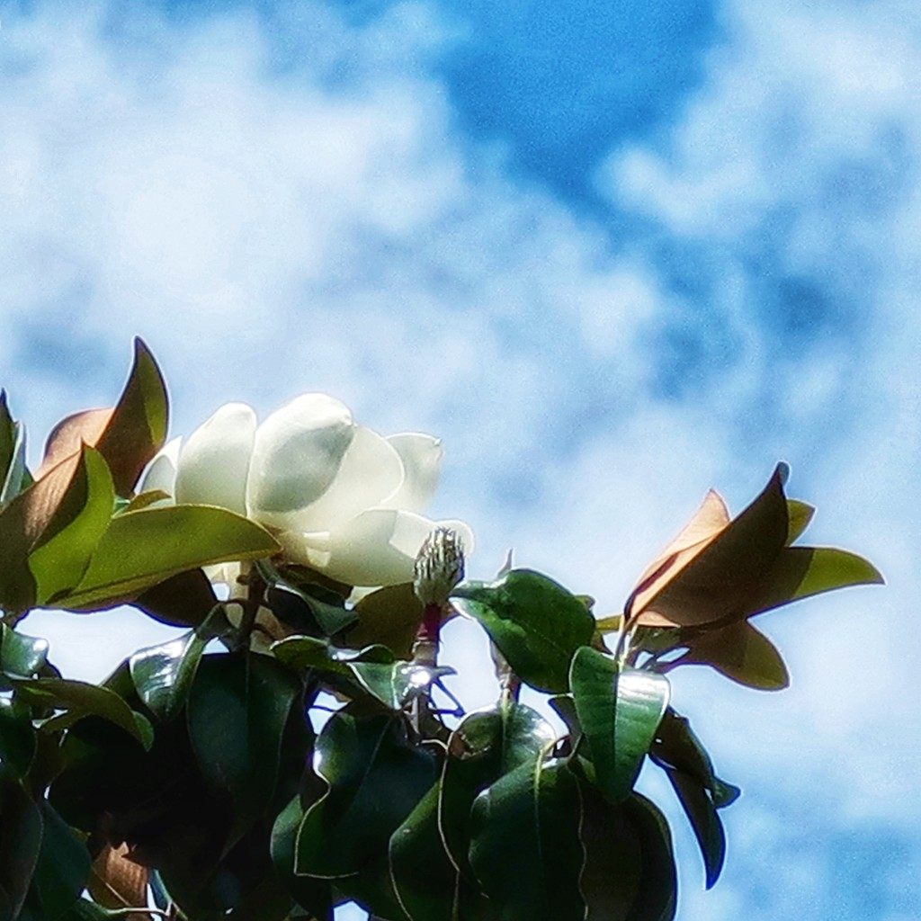 One more Magnolia bloom for the half and half.  by louannwarren