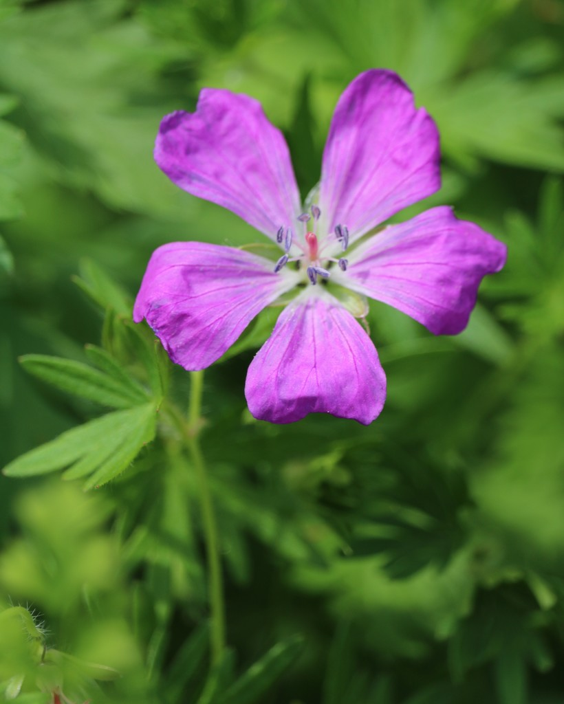 May 16: Cranesbill by daisymiller