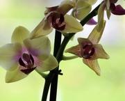 24th May 2019 - May 24: Orchid