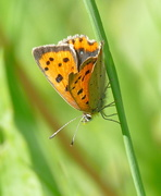 25th May 2019 - Small Copper
