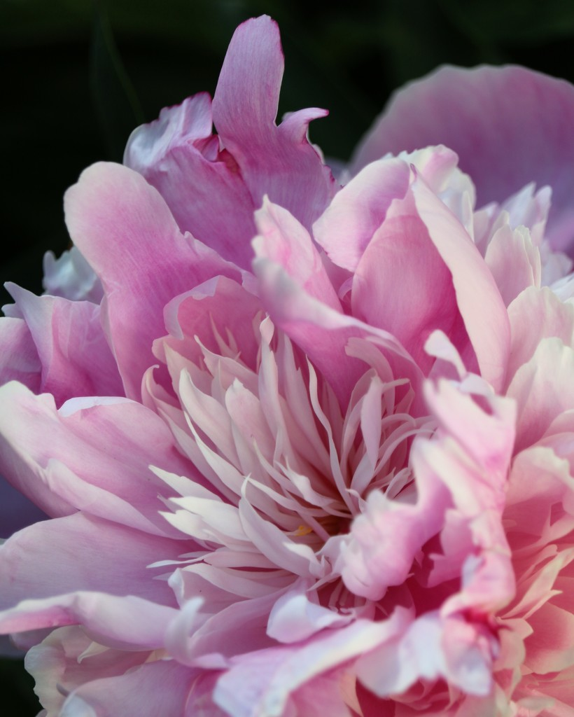 May 17: Peony by daisymiller