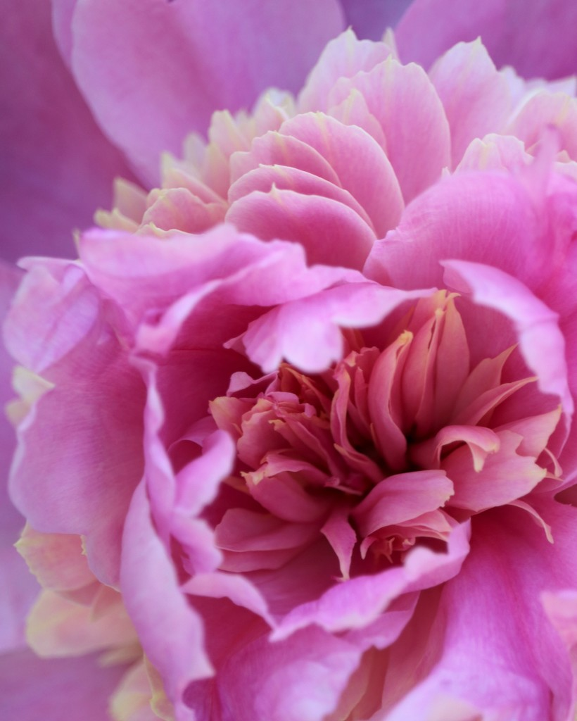 May 18: Peony by daisymiller