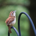 Carolina Wren by lsquared