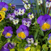Pansies in a Pot by loweygrace