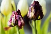 17th May 2012 - Beautiful tulips